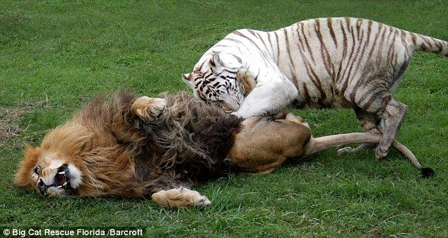 Ferocious Fighters But Its Only A Game Lion Cameron -6937