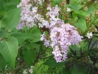 Image of Syringa vulgaris 'Monore' (BLUE SKIES®) PP6877 high fragrant, spring to early summer,8H x 5W,fall color-ugly