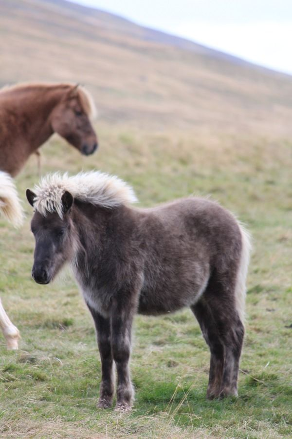 What a lovely Icelandic foal? Picture a Iceland Holiday - Horse riding, self-drives....  http://www.fiftydegreesnorth.com/destinations/iceland