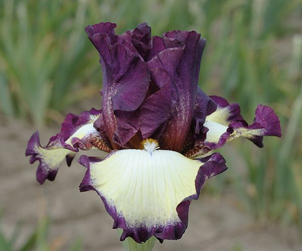 Grafenau Remembered | Tall Bearded Iris Schreiner 2015; Grafenau, Germany is the birthplace of F. X. Schreiner. Its namesake, a tall plum purple plicata, presents demurely closed standards as the backdrop for the captivating cascade of cream coating the plum-encircled falls. Grafenau Remembered opens late in the season and has excellent branching and good growth habits. Seedling #TT1710-1