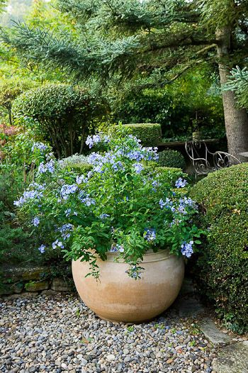 plumbagos (auriculata) Evergreen shrub. - full to partial sun - drought tolerant and cold hardy - attracts butterflies and birds.