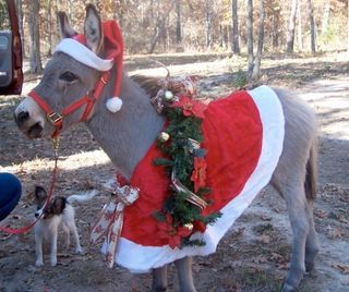 One of our favorite Christmas songs.  Dominic The Italian Christmas Donkey .  Hey! Chingedy ching,  (hee-haw, hee-haw)  It's Dominick the donkey.  Chingedy ching,  (hee-haw, hee-haw)  The Italian Christmas donkey.  (la la la-la la-la la la la la)  (la la la-la la-la la-ee-oh-da)  Santa's got a little friend,  His name is Dominick.  The cutest little donkey,  You never see him kick.  When Santa visits his paisons,  With Dominick he'll be.  Because the reindeer cannot,  Climb the hills of…