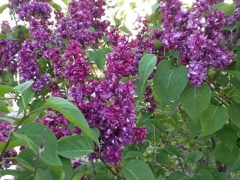 How to Prune Lilacs with Sensible Gardening and Living
