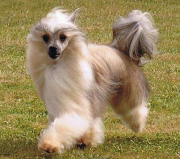 Chinese crested powder puff dogs