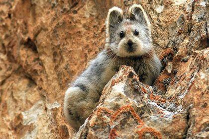 Зоологи заметили «волшебного кролика» впервые за 22 года