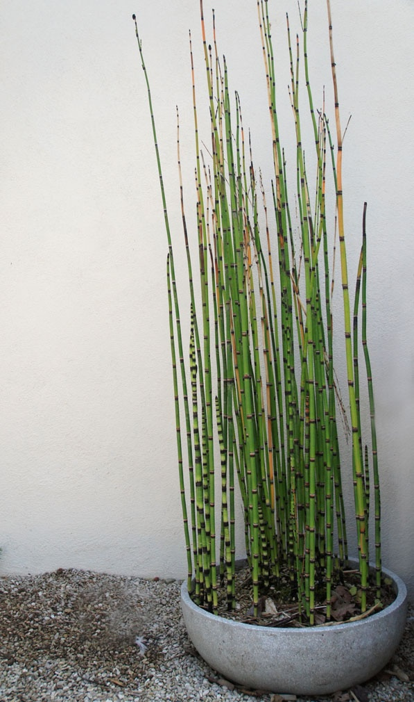 25 best images about equisetum in pot and containers on container