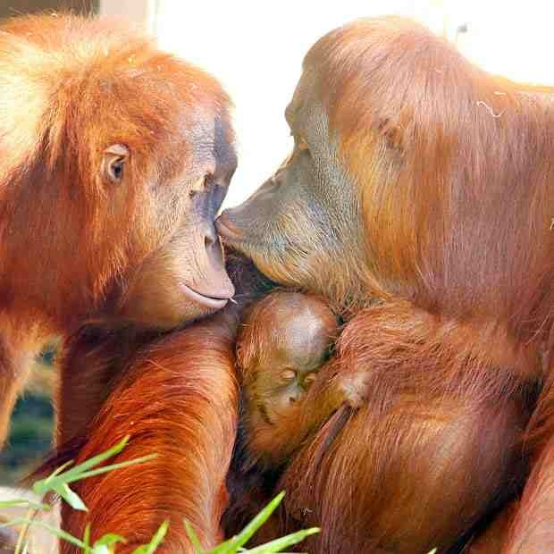 very Happy Orangutan family Happy Orangutan