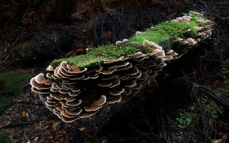 Bracket fungus on a log, Julius River, Tarkine, Tasmania