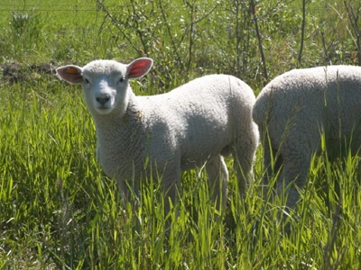 What does lambs gambling on the lawn mean birthday poems about gambling