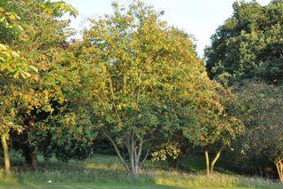 Sorbier des oiseaux - Sorbus aucuparia