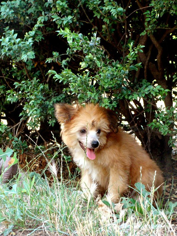 Giorgetta Vittoria dell Amore - Китайская хохлатая собака питомник Vittoria dell Amore