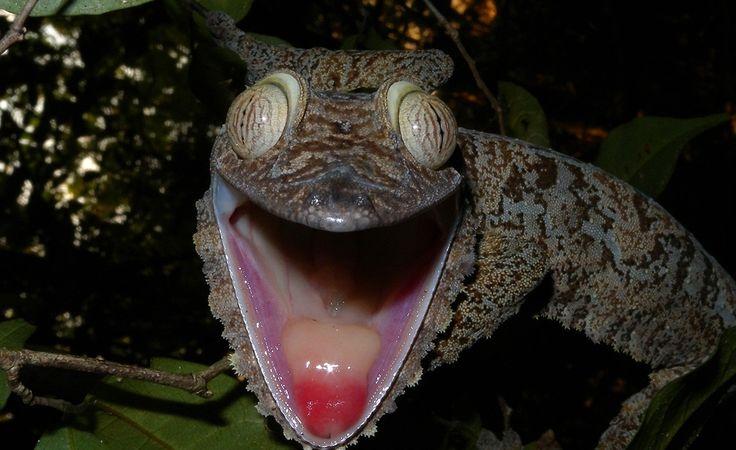 A lagartixa da espécie Uroplatus fimbriatus é encontrada nas florestas tropicais de Madagascar. Ela pode chegar a 30 centímetros de comprimento. Como não tem pálpebras, ela usa a língua para remover a poeira dos olhos.
