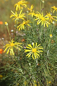 Harpuis is an important Khoisan and Cape Dutch remedy for wounds, sores, burns and skin conditions.