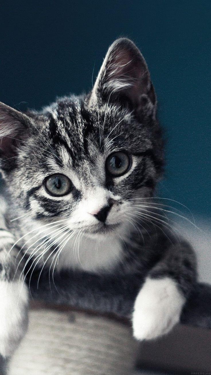 Mobile Cat Wallpapers Android Iphone Smartphone Hd Wallpapers Purrfect Love Kitten Wallpaper Kittens Cutest Cat Wallpaper