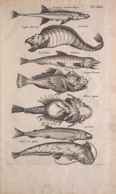 c. 8, pt. 5 [1657] - Historiae naturalis de quadrupedibus libri : - Biodiversity Heritage Library