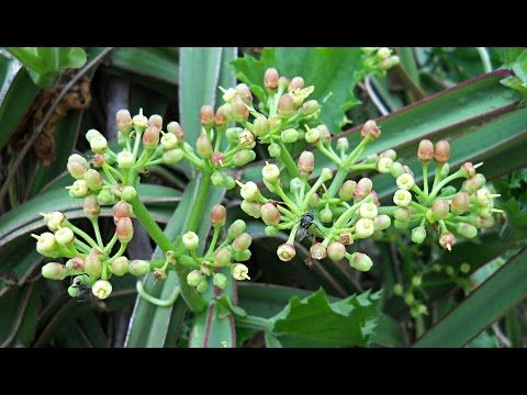 Cissus Quadrangularis Benefits - World Of Herbal Health