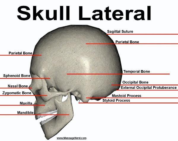 50 best osteology - bones images on pinterest | occupational, Sphenoid