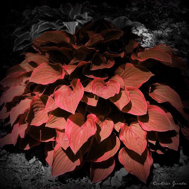 Red Hosta by Christopher Gosselin, via Flickr