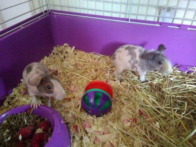 Pair of skinny pigs both baby sisters For Sale in Ilkeston, Derbyshire | Preloved