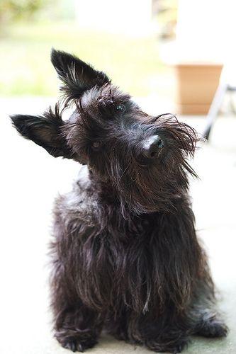 14. Terrier Escocés | No tienen miedo y pueden llegar a ser agresivos con otros…
