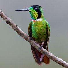 Foto beija-flor-de-gravata-vermelha (Augastes lumachella) por Almir Almeida   Wiki Aves - A Enciclopédia das Aves do Brasil