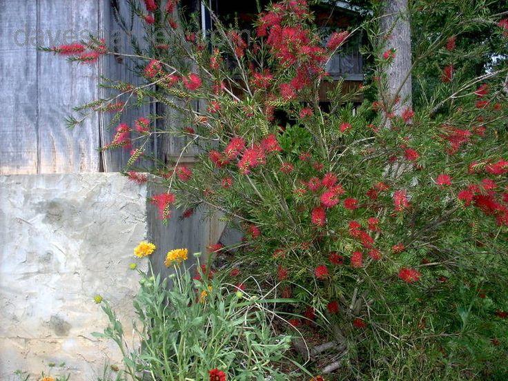"""Callistemon """"Woodlander's Red"""