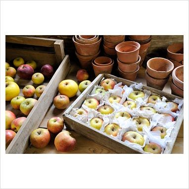Packing apples for the root cellar.