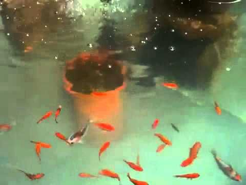 Koi fish and gold fish stock tank garden pond youtube for Coy fish tank
