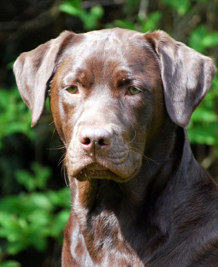 Chocolate Labrador facts, features, and fun! A complete in-depth guide to the world's favourite brown dog. From origins to how to find a puppy, it's here.