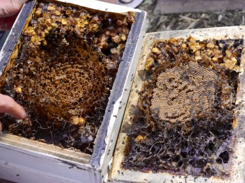 Keeping native stingless bees, Australia - http://milkwood.net/2014/06/10/keeping-stingless-bees-in-the-city/