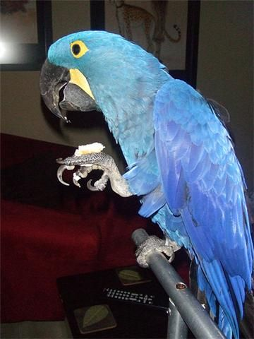 Home raised and hand-fed Hyacinth Macaw Pair available now. We have well tamed, home raised and hand-fed Hyacinth Macaw Pair available now.Tame Hyacinth Macaws. DNA'd male, female for a good family. Excellent feathers and