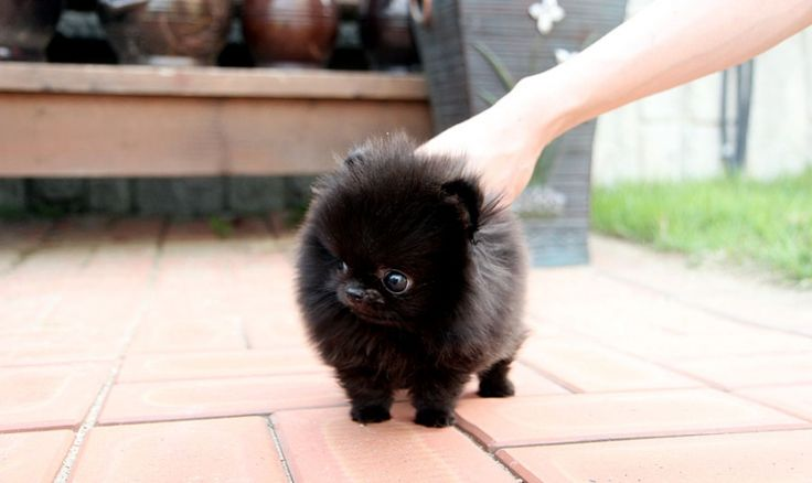 Micro teacup pomeranian. Cute and fluffy! | Uh-dorbieeeees ...