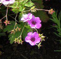 Perennials for Clay Soil,Geranium psilostemon, Armenian Cranesbill