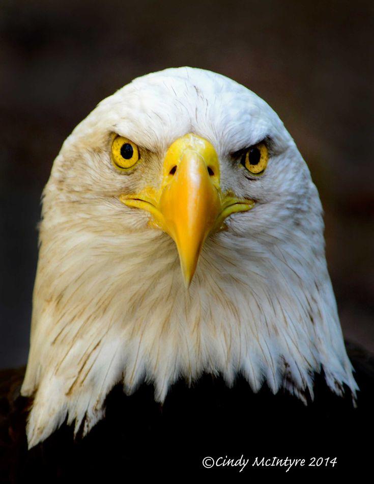 Image result for bald eagle face