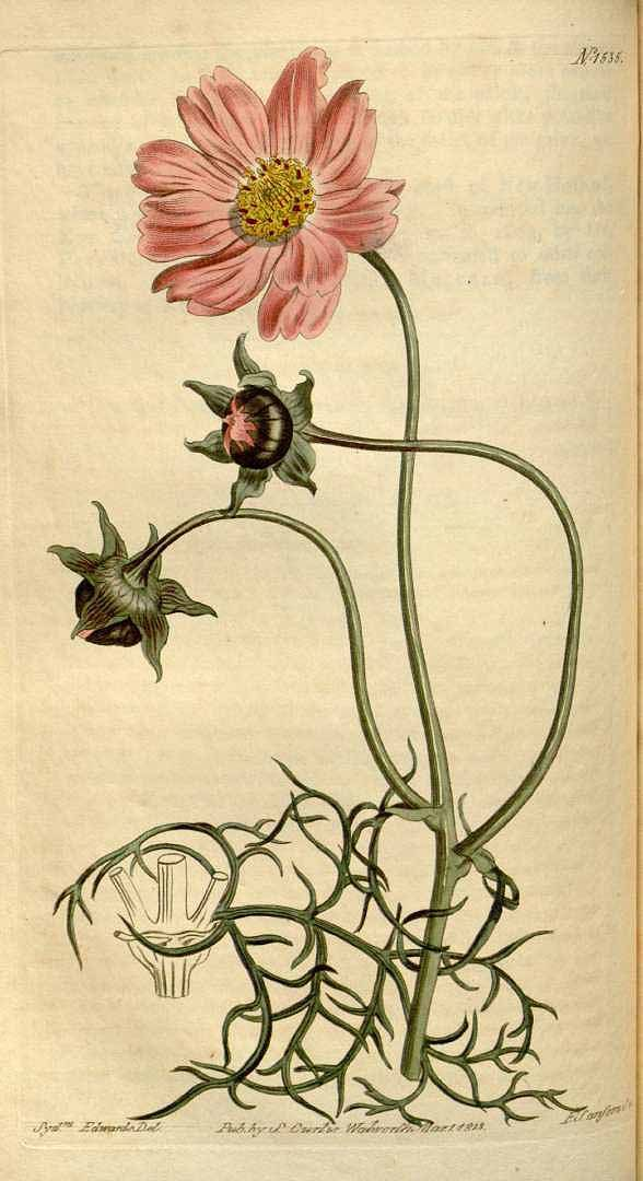Bidens bipinnatus [syn. Cosmos bipinnatus Cav.] [as Cosmea bipinnata Willd.] Curtis's Botanical Magazine, vol. 37: t. 1535 (1813) [S.T. Edwards]