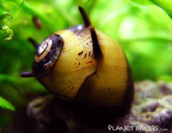 Horned Nerite Snail .:. Clithon corona .:. Freshwater Aquarium Snail Information Page