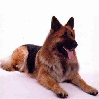 King Shepherd..... I want one!!
