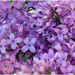 Lilac Purple Flowers Background Wallpaper | lilac purple flowers background wallpaper 1080p, lilac purple flowers background wallpaper desktop, lilac purple flowers background wallpaper hd, lilac purple flowers background wallpaper iphone