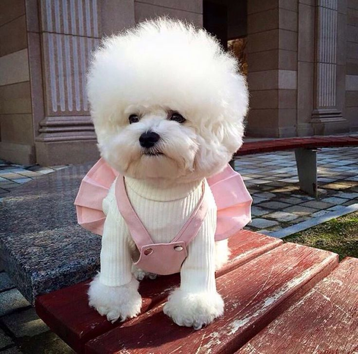 Mills could deffo rock this look! #bichon #afro #dog