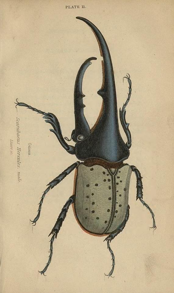 v.33 (1852) [Entomology] - Beetles / - Biodiversity Heritage Library