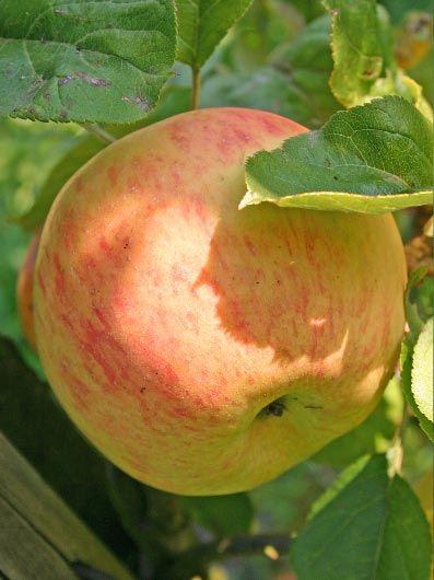Apple (Dülmener Rosenapfel)
