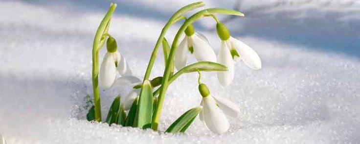 Hóvirág: a 2017-es év vadvirága , TájGazda