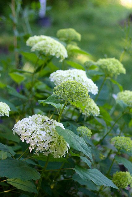 Hydrangea arborescens 'Annabelle'- this delightful shrub is particularly good in shade and is lovely from the moment the lime green flowers appear right through their transformation to cream, then white, then green again.