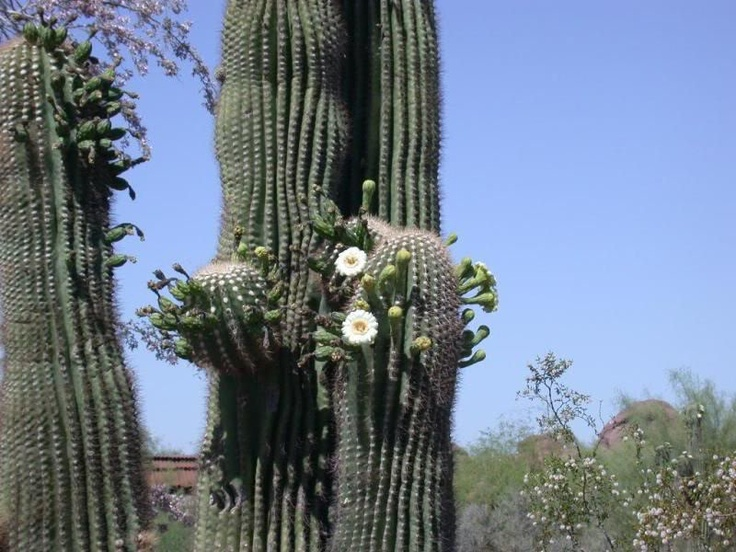 Best gardening cacti images on pinterest succulents