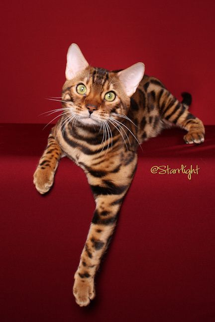 Bengal Cat | meow and ruff | Pinterest #catbreed - See more at Catsincare.com!