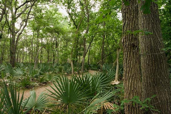 A tropical oasis in central Texas, Palmetto State Park is a botanical wonderland. The dwarf palmetto swamp echoes prehistoric times.