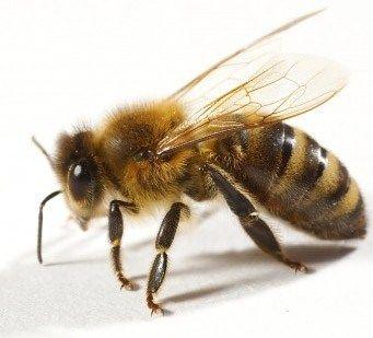 Les piqûres d'abeilles sont douloureuses. Causant de l'inflammation, de la fièvre et même des infections. Croyez-le ou pas le miel est la meilleure chose pour une piqûre d'abeille. Non seulement le miel dessiner toute dard reste, il apaise la peau sensible, réduit le gonflement et parce que le miel est un anesthésique naturel, il aide à guérir plus rapidement.