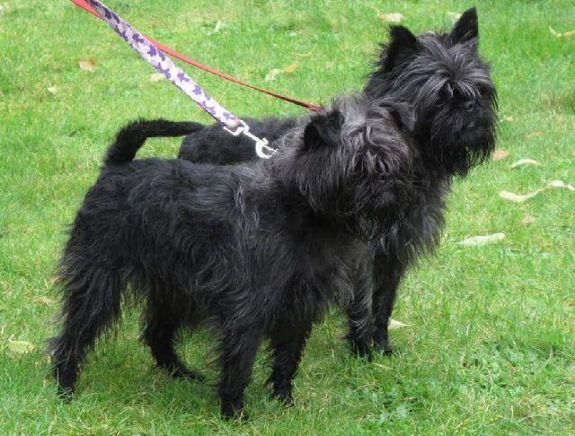 "Affenpinscher Jenis anjing kecil yang pertama ini adalah anjing yang berasal dari Jerman dan juga Prancis, saat dewasa tak lebih dari 30 cm tingginya dan dengan berat hanya 2,9 hingga 6 kg. Ajing yang satu ini adalah anjing yang memiliki karakter penuh semangat, berani dan juga enrgik.  Affenpinscher juga dikenal dengan ""Monkey Dog"" yang berasal dari bahasa Jerman yang asal katanya ""Affen"" yang memiliki arti ""kera atau monyet"" dan dari kata ""pinscher"" yang memiliki arti ""terrier"""
