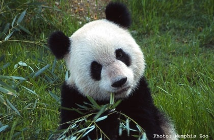 Memphis Zoo, voted #1 zoo in the country by TripAdvisor.  We have pandas! .... Best zoo I have ever been to and I am a zoo whore!!Buckets Lists,  Pandas Bears, Bing Image, Cuddly Pandas, Giants Pandas, Favorite Animal, Pandabear,  Coon Bears, Memphis Zoos