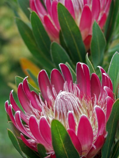Protea Flower-head: Photo by Jenny Ross